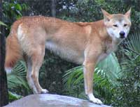 Expert Witness in dingo related matters